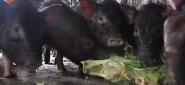 品读永州之养小猪赚大钱