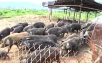 舌尖上的幸福永州——藏香猪