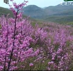 品读永州走进江永之紫荆花开