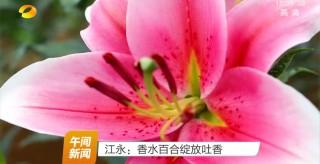 江永:香水百合綻放吐香