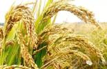 關于啟動2016年早秈稻最低收購價執行預案的公告