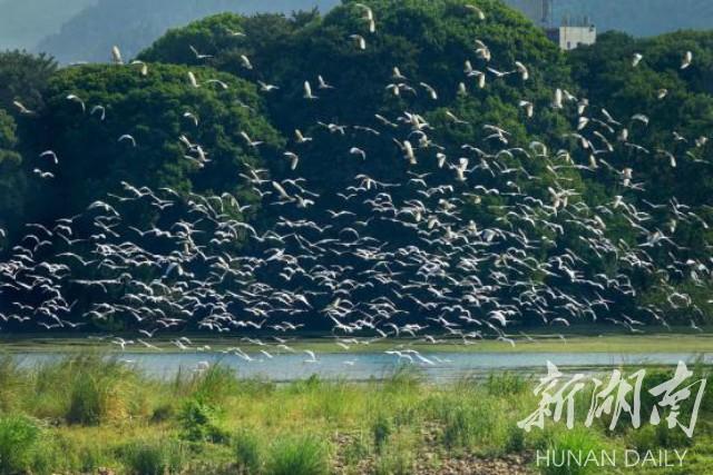 图游永州:双牌月湖湿地白鹭飞
