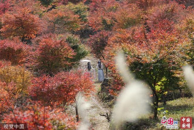 湖南永州:瑤鄉高山7萬余株楓樹葉飄紅 延綿成片分外靚麗