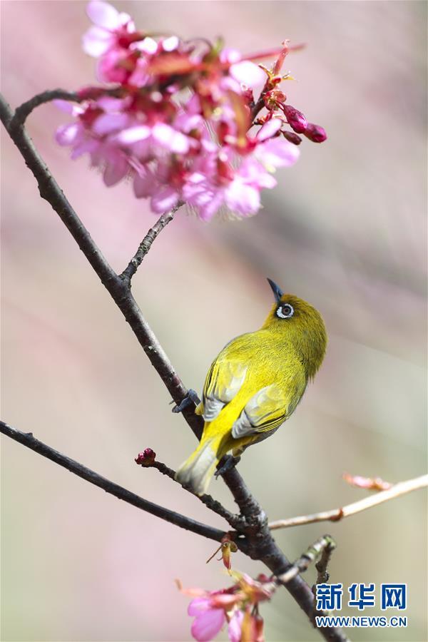 (環境)(3)繡眼鳥鬧新年