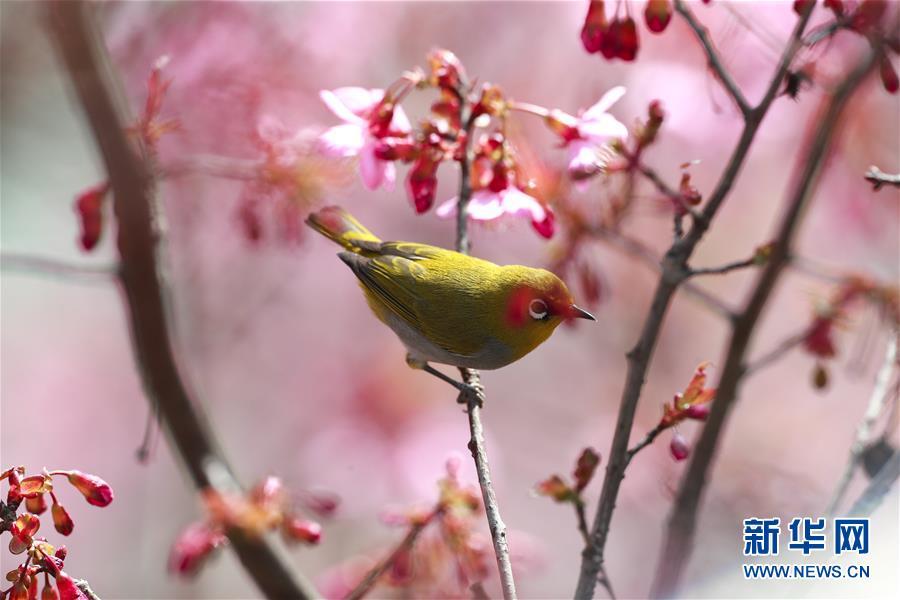 (環境)(1)繡眼鳥鬧新年