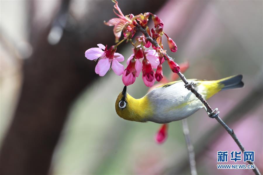 (環境)(2)繡眼鳥鬧新年
