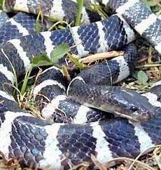 """永州之野产异蛇的""""异蛇""""到底是什么蛇"""