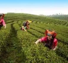 江华苦茶之魂——瑶山野茶