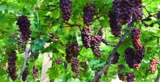 蓝山:2万亩生态葡萄上市 产销两旺产值过2亿