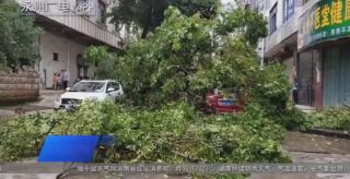 江华:狂风吹倒大树 五辆车被压树下