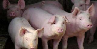湖南关闭所有生猪交易市场 禁止从外省调入生猪