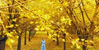 湖南初冬赏叶地图丨如果没有银杏,冬天该有多寂寞