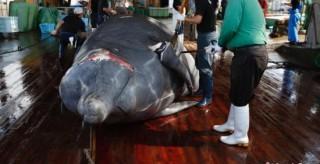 """宣布""""退群"""" 恢復商業捕鯨 日本招致多方批評"""