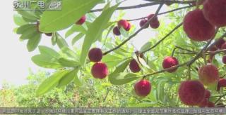 (記者調查)道縣:以節為媒遠銷上海 果農鼓了錢袋子
