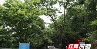 青年毛澤東栽下的兩棵板栗樹,102歲了!