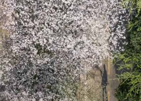 武大樱花开了!这是武汉最坚强的一个春天