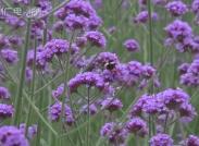 (美麗鄉村)雙牌桐子坳:馬鞭草綻放紫色花海