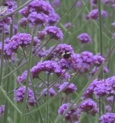 (美丽乡村)双牌桐子坳:马鞭草绽放紫色花海
