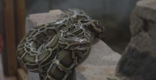 永州高速交警查获9条蟒蛇