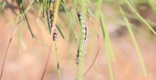 东安:无人机喷洒施药 四万亩林地减灾