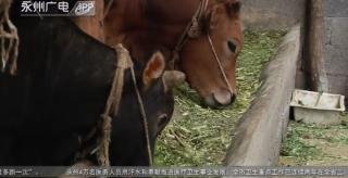 15頭牛接連死亡 排除疫病可能 養殖戶最終獲賠