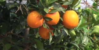 祁陽煙塘村:500畝臍橙喜豐收 游客共享采摘樂
