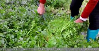 """江華:農閑田里種上""""西洋菜"""""""