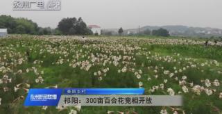(美丽乡村)祁阳:300亩百合花竞相开放